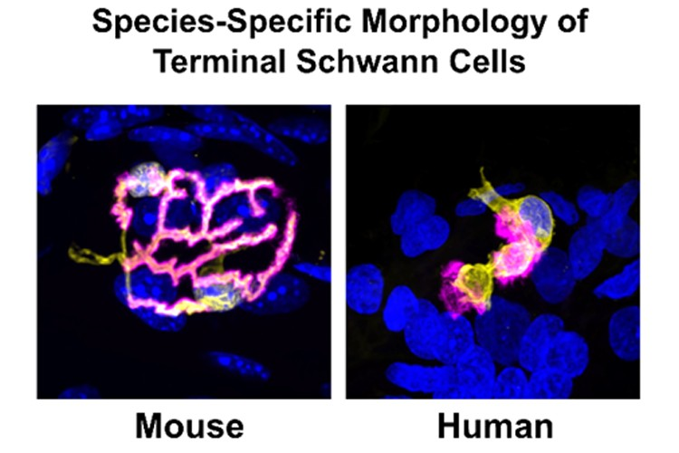 two microscope images, one showing terminal Schwann cells from a mouse, the other showing the same cells from a human